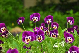 http:www wallpapersonview com wallpapers 2 flowers pansies 0201 jpg 1896
