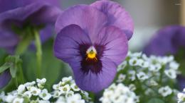 Purple pansy wallpaperFlower wallpapers#34398 1242