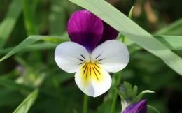 Pansy flower wallpaper|Free download Pansy flower wallpaper|Pansy 421