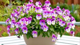 Download Wallpaper 1366x768 pansies, flowers, pots, table laptop 812