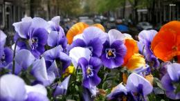 Purple pansies wallpaper 1280x800 Purple pansies wallpaper 1366x768 826