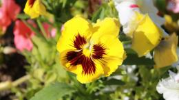Pansy wallpaperFlower wallpapers#556 598