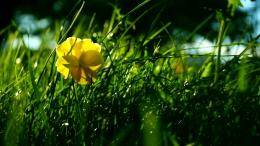Yellow pansy wallpaperFlower wallpapers#35075 852