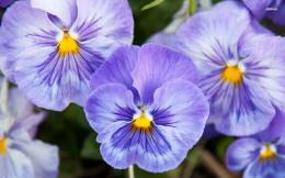 Purple pansies in the garden wallpaperFlower wallpapers#46717 327