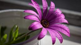 Purple flower in the pot wallpaper in Flowersplants wallpapers 1192