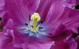 Close Up of a Purple Tulip Wallpapers | HD Wallpapers 124