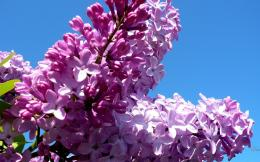 purple lilac on blue sky wallpaper in flowers plants wallpapers 319