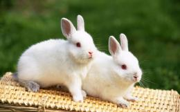 Cute White Rabbit Couple Picture 1283