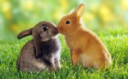 Cute golden rabbit and brown rabbit kiss each other in the meadow 1320