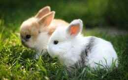 1280x800 Wallpaper rabbits, couple, grass, fur, beautiful 341