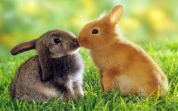 Rabbit love couple kiss wallpapers | Desktop Best Wallpapers 1841
