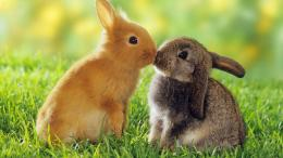 Cute Baby Bunny Rabbit Kissing to Each Other Meadow Desktop Wallpaper 1671