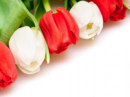White Red Tulips Wallpaper HD Wallpaper | Flowers Wallpapers 1190