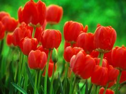 red tulips flowers wallpaper red tulips flowers wallpaper red tulips 1693