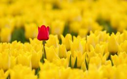 Spring Red Yellow Tulips HD WallpaperFreeWallsUp 1509