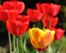 red tulip wallpaper free red tulip windows background free red tulip 392