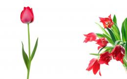 Red Tulips Wallpaper6477 727