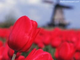 Red Tulips Wallpaper 1473