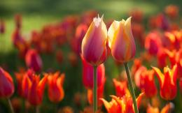 Red tulips summer Wallpapers Pictures Photos Images 1745