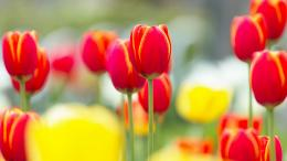 Red Tulips wallpaper881859 1949