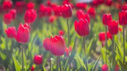 Download Red tulips wallpaper 390