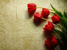 Tag: Red Tulips Wallpapers, Images, Photos, Pictures and Backgrounds 1502
