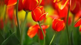 Description: The Wallpaper above is Red tulip buds Wallpaper in 503
