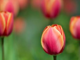 http:wallpaperstock net red tulip wallpapers 10620 1600x1200 1 html 869