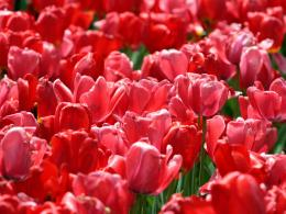 the Red Tulips Wallpapers, Red Tulips Desktop Wallpapers, Red Tulips 1593