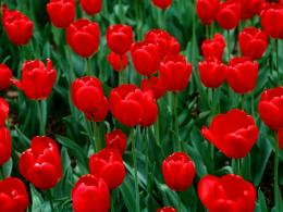 flowers for flower lovers : Red tulips desktop wallpapers 1102