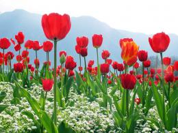the Red Tulips Wallpapers, Red Tulips Desktop Wallpapers, Red Tulips 1444
