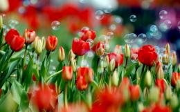 Red Tulips Wallpaper8740 1145