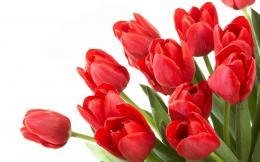 Tag: Red Tulips Wallpapers, Images, Photos, Pictures and Backgrounds 1842