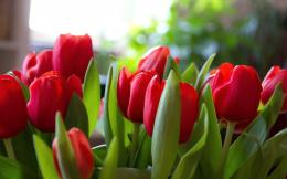 Red tulips wallpaper #29194 999