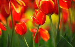 Red orange tulips HD Desktop Wallpaper | HD Desktop Wallpaper 1571