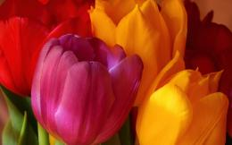 Yellow Pink Red Tulips Wallpapers Pictures Photos Images 1148