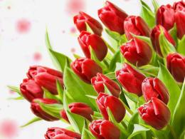 Description: The Wallpaper above is Red tulips Wallpaper in Resolution 1509