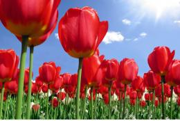 back to RED TULIPS High Definition Wallpaper Backgrounds Next Image 1439