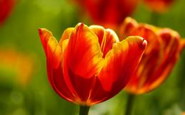 Red Tulips Wallpaper 1184