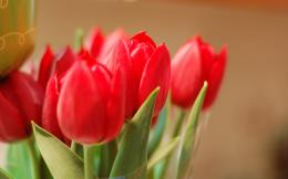 Red tulips wallpaper #27511 1925