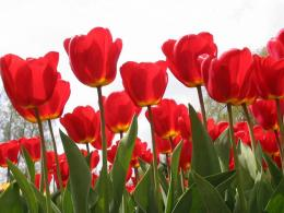 the Red Tulips Wallpapers, Red Tulips Desktop Wallpapers, Red Tulips 680