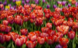Red tulips wallpaper 1407
