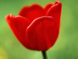 Red Tulip Pictures 14010 Hd Wallpapers in FlowersImagesci com 358