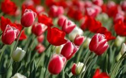 Red Tulips in spring Wallpapers | HD Wallpapers 759