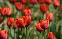 Red Tulips wallpaperFlower wallpapers#137 761