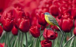 Bird red tulips Wallpapers Pictures Photos Images 1604