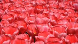 Download Red tulips wallpaper 1676