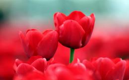 Summer red tulips Wallpapers Pictures Photos Images 388