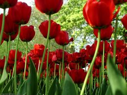 Red tulips | Wallpaperart 1731