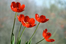 red tulips flowers in rain wallpapers red tulips flower wallpapers 1787
